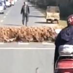 2万羽のアヒルが、洪水のような勢いで横断歩道を渡る風景【中国】