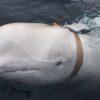 ロシア軍の動物兵器か。不審な【シロイルカ】ノルウェーの漁師が発見